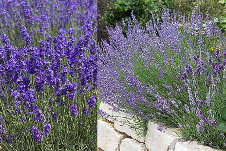 YouGarden - 12 English Lavender Munstead Plants - Save 60%