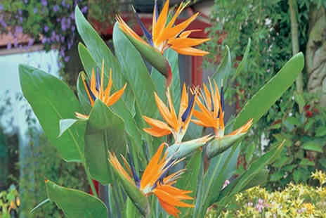 PlantStore - 1 Exotic Bird of Paradise Plant with Free P&P - Save 40%