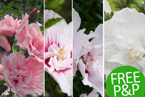 PlantStore - Hibiscus Chiffon Pack of Three Plants Plus Free Postage - Save 55%