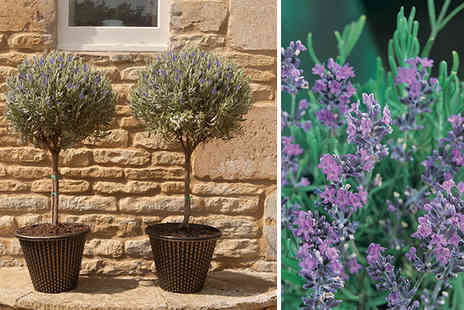 YouGarden - Pair of Standard Lavenders - Save 38%