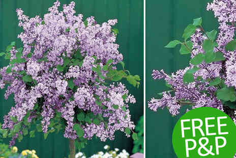 PlantStore - 1 Unit Korean Lilac Tree - Save 48%