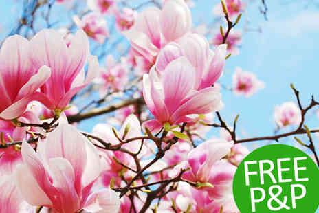 PlantStore - Flowering Sized Magnolia Shrub Collection in Three Different Varieties - Save 55%