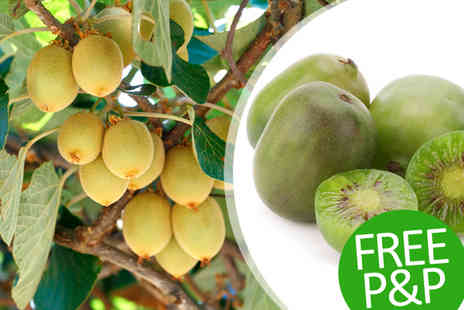 PlantStore - One Hardy Kiwi Berry Plant with Free P&P - Save 44%