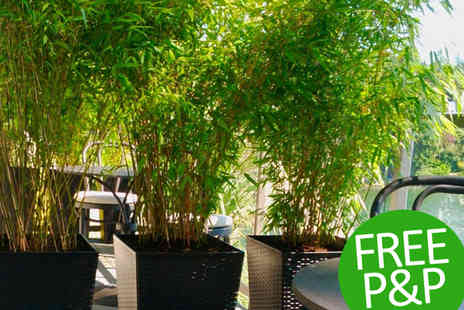 PlantStore - Trio of Large Clumping Umbrella Bamboo Trees With Free Delivery - Save 60%