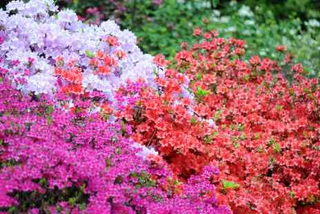 Groupon Goods Global GmbH - Dwarf Azalea Four or Eight Plants Collection - Save 68%