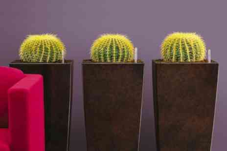 Groupon Goods Global GmbH - Three Golden Barrel Cactus Plants - Save 50%