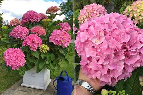 Blooming Direct - Two hydrangea Belle Seduction plants - Save 53%