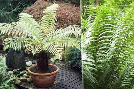 Blooming Direct - Hardy tree fern - Save 33%