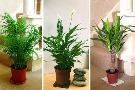 Easy Plants - Peace lily, yucca or parlour palm - Save 60%