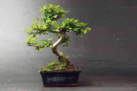 Bonsai BY Design - Premium 25 to 30cm Chinese Elm Bonsai tree with a dark blue ceramic pot - Save 72%