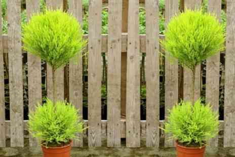 Groupon Goods Global GmbH - Topiary Goldcrest Cypress Trees with Optional Planters - Save 48%