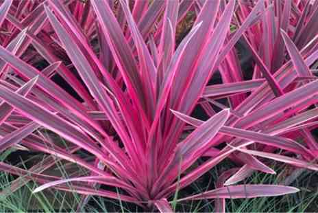 Groupon Goods Global GmbH - Up to Four Cordyline Pink Sensation Plants with Optional Flared Planters - Save 33%