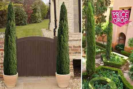Blooming Direct - Two extra large Italian Cypress trees - Save 37%