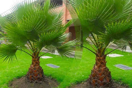 PlantStore - 1 plant Washingtonia Robusta Palm Trees - Save 55%