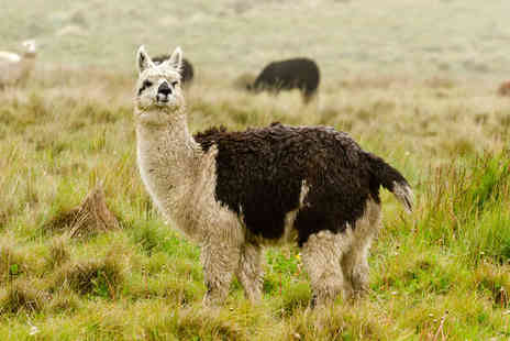 Faerie Tale Alpacas - Two hour alpaca experience for two people - Save 0%
