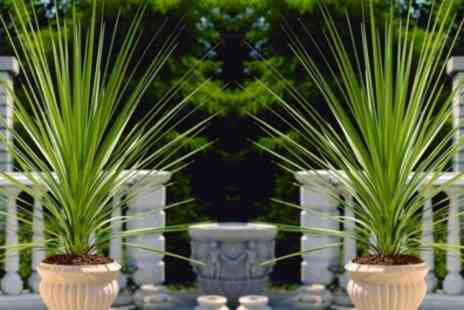 Groupon Goods Global GmbH - Two Hardy Green Torbay Palms with Optional Planters and Feed - Save 55%