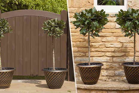 Blooming Direct - Pair of Standard Bay Trees - Save 45%