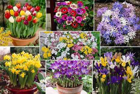 Blooming Direct - 300 bulb spring flower collection - Save 50%