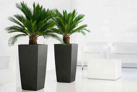 PlantStore - Pair of Cycad King Sago Palm Trees - Save 69%