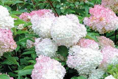 Groupon Goods Global GmbH - Hydrangea Vanilla Fraise  Buy One, Two or Three Plants with Additional Planter Option - Save 40%