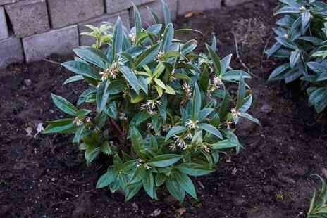 Groupon Goods Global GmbH - Sarcococca Confusa One, Three or Six Plants - Save 28%