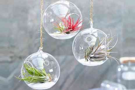 Groupon Goods Global GmbH - 6, 12 or 24 Tillandsia Air Plants - Save 52%