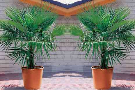 Groupon Goods Global GmbH - Trachycarpus Fortunei Palm One, Two or Three Plants - Save 35%