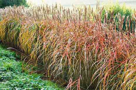 Groupon Goods Global GmbH - 10, 15 or 20 Miscanthus Hedge Plants - Save 0%