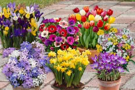 Groupon Goods Global GmbH - 300 Spring Flowering Bulbs - Save 40%