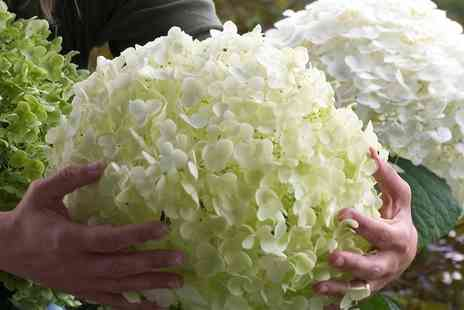 Groupon Goods Global GmbH - One or Two Hydrangea Strong Annabelle XXL Plants - Save 38%