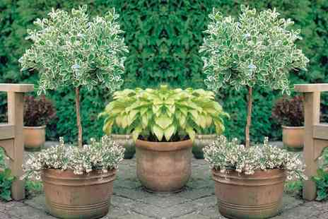 Groupon Goods Global GmbH - Two Evergreen Standard Euonymous Trees Emerald and Gold or Kathy - Save 50%