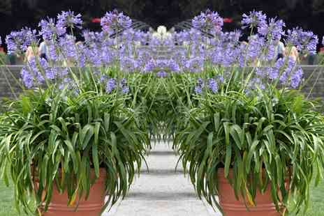 Groupon Goods Global GmbH - Agapanthus Dr Brouwer Choose One or Two Plants with Optional Planters - Save 31%