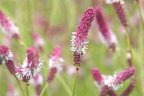 Groupon Goods Global GmbH - Three or Six Sizzling Sanguisorba Collection Plants - Save 0%