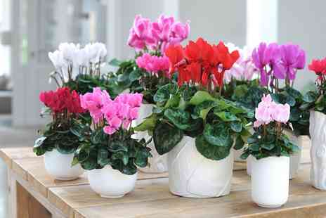 Groupon Goods Global GmbH - Set of Three or Six Colourful Cyclamen Plants - Save 49%