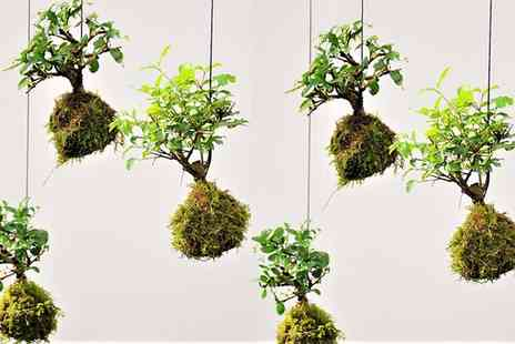 Groupon Goods Global GmbH - One or Two Moss Ball Bonsai Trees - Save 35%