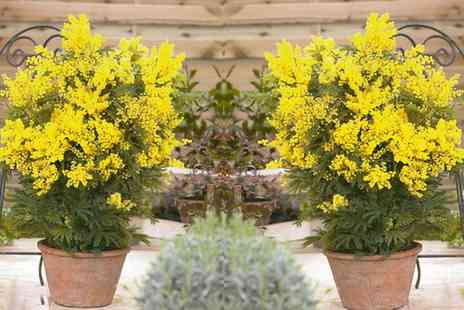 Groupon Goods Global GmbH - Two or Three Exotic Mimosa Trees - Save 0%