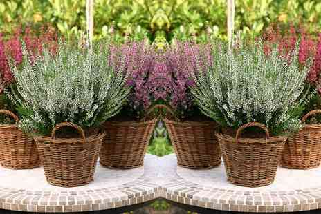 Groupon Goods Global GmbH - 6, 12 or 24 Winter Hardy Evergreen Heather Plants - Save 0%