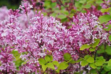 Groupon Goods Global GmbH - One or Two Dwarf Lilac Sugar Plum Fairy Plants - Save 40%