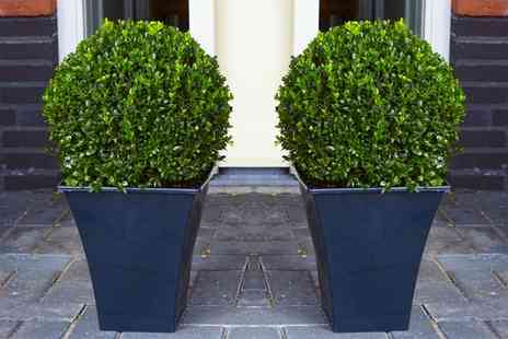 Groupon Goods Global GmbH - Two or Four Topiary Buxus Balls with Optional Feed or Planters - Save 85%