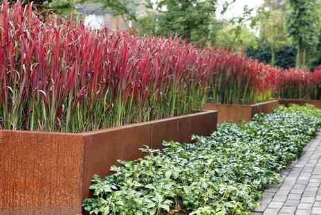 Groupon Goods Global GmbH - Three or Six Imperata Red Baron Grass Plants - Save 42%