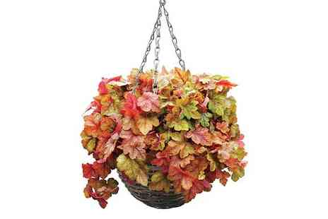 Jersey Plants Direct - 2 Heuchera Redstone Pre Planted Hanging Baskets With Free Delivery - Save 0%