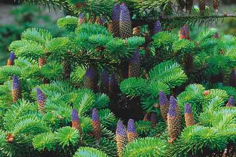 Groupon Goods Global GmbH - Hardy Korean Fir Tree One or Two plants - Save 35%