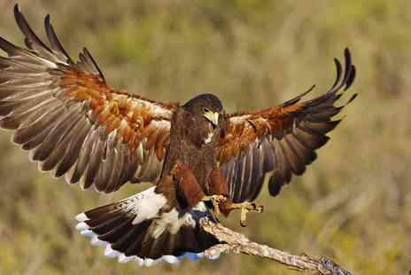 Stockley Birds of Prey - Birds of prey hawk walk experience in Cheshire - Save 62%