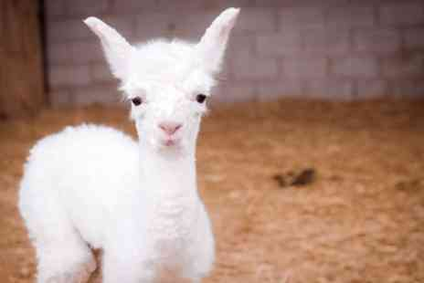 Charnwood Forest - One Hour Baby Alpaca Experience and Feed for One or Two - Save 50%