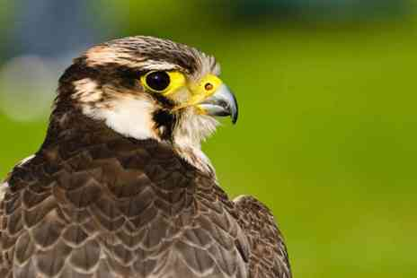 Buyagift - Three hour bird of prey experience - Save 0%