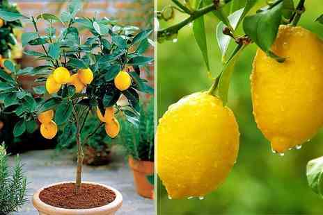 PlantStore - Two Mediterranean citrus trees get one lemon and one orange tree - Save 63%