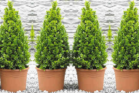 PlantStore - Two buxus pyramid plants - Save 50%
