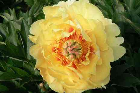 Groupon Goods Global GmbH - One or Two Peony Everlasting Treasure Plants - Save 67%
