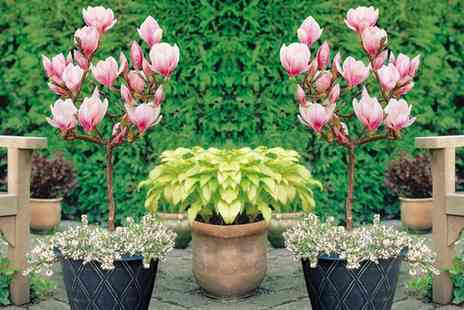 Groupon Goods Global GmbH - Magnolia Lucky Red Standard Hardy Shrub or Two Packs of Incredibloom Fertiliser - Save 67%