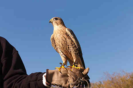 Red Letter Days - Three hour falconry experience - Save 0%